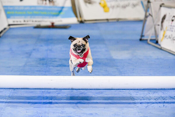 pug jumping over pipe on lure course